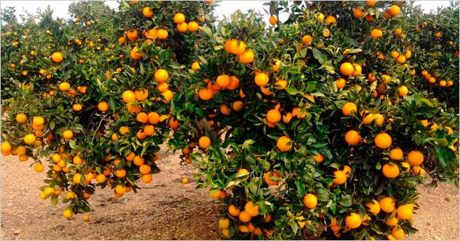 Reserva la ruta de la naranja con hotel y excursiones - Naranjas del arbol a la mesa ...
